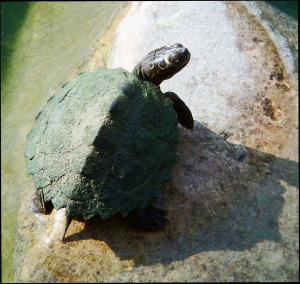 Turtle on A Large Stone