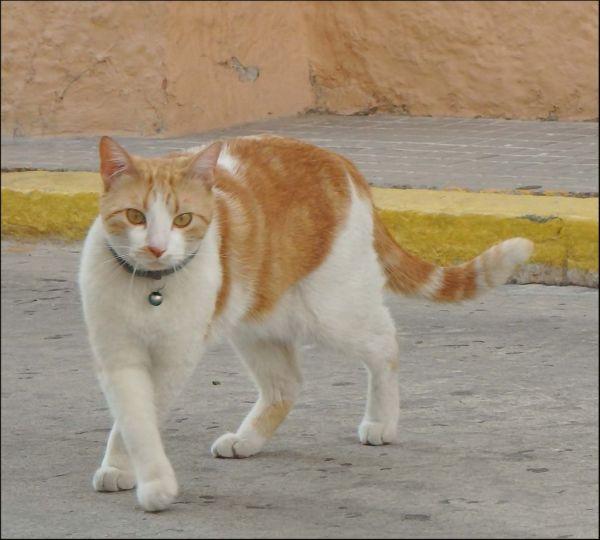 Neighbour'a Cat Pancho
