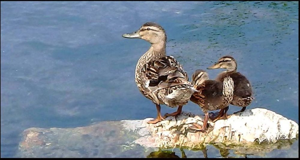 A Mother Duck & Her Ducklings