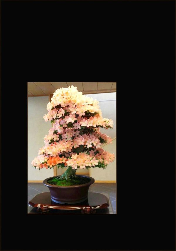 Satsuki Azalea Bonsai