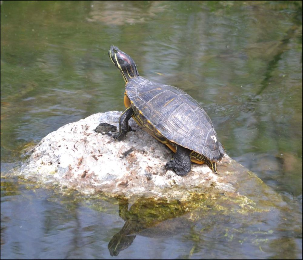 Sunbathing Red-eared Slider