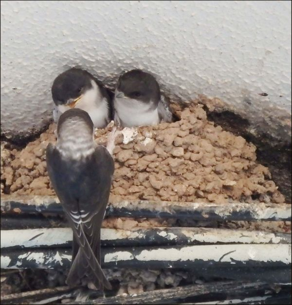 Young Swallows in The Nest