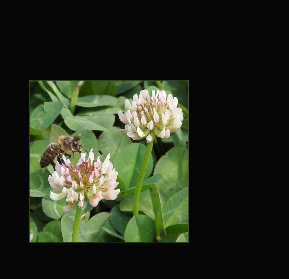 White Clover & a Honey Bee