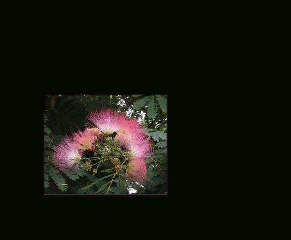 Albizia julibrissin in Full Bloom