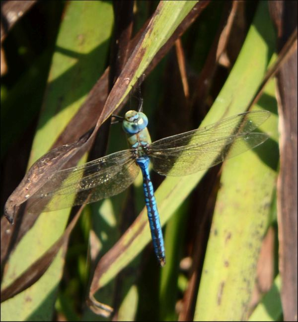 Anax Parthenope in The Stream