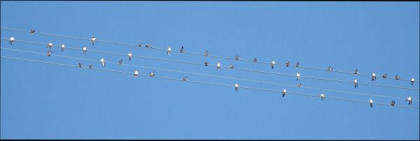 Swallows on Electric Wire