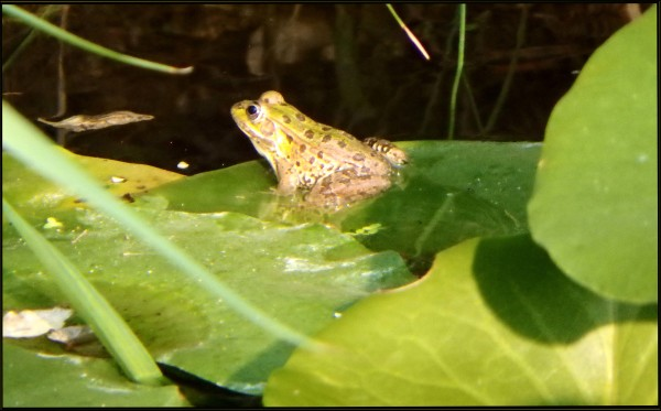 Pelophylax Nigromaculatus in The Lotus Pond