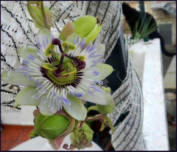 Passiflora Caerulea of My Roof Terrace