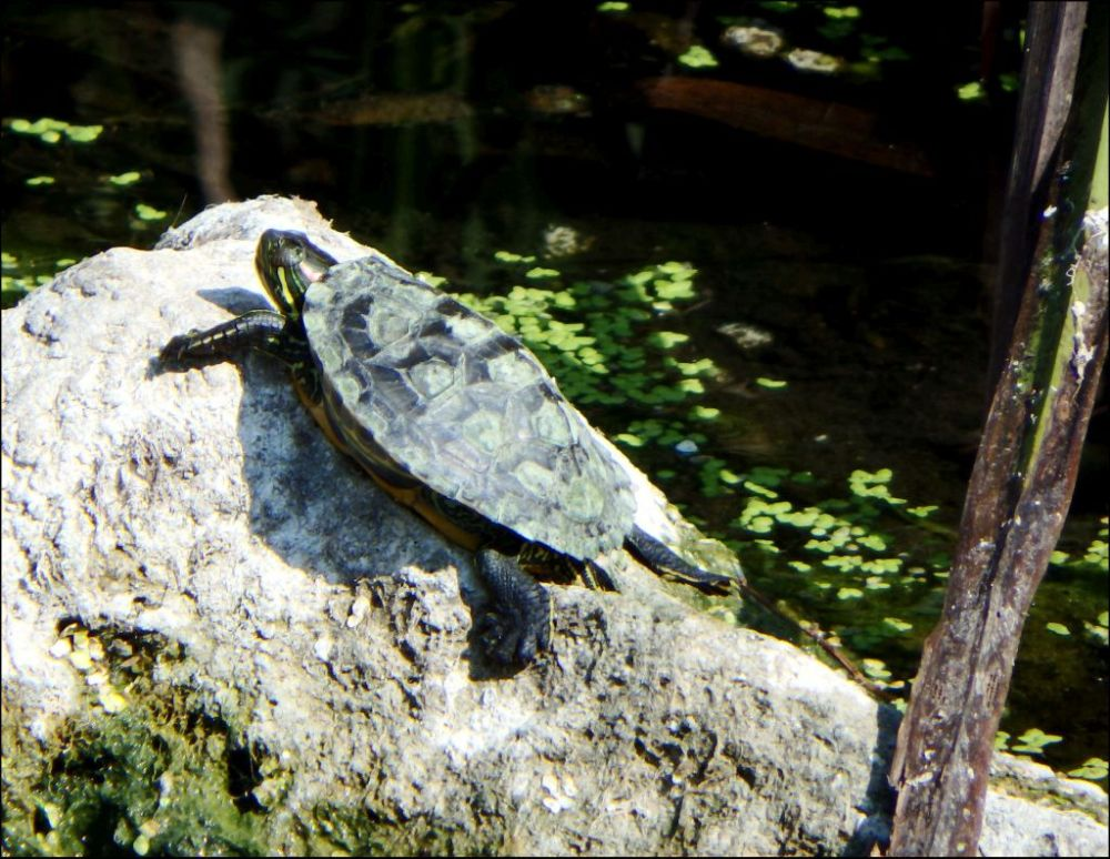 Sunbathing Yellow-bellied Slider Turtle