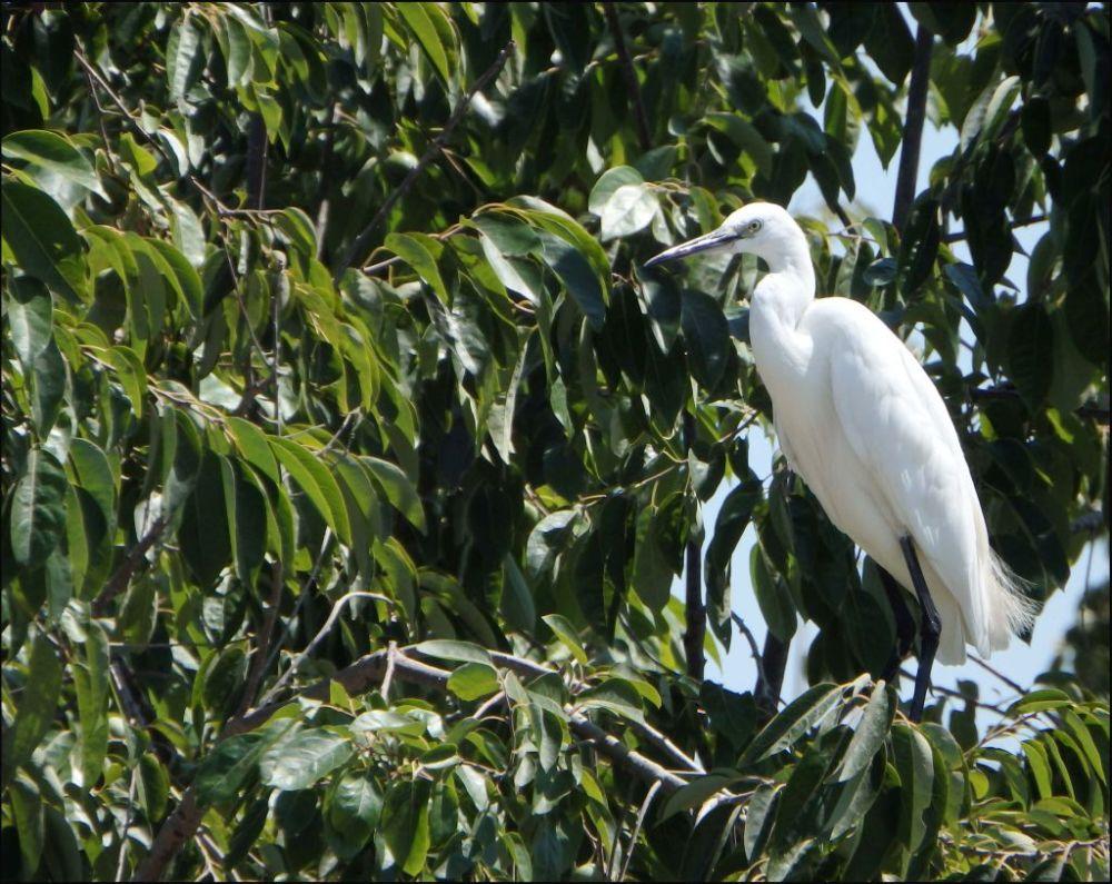 Egret on The Tree