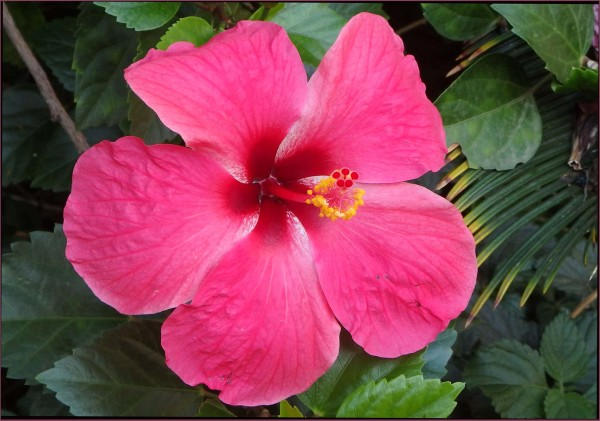 Early Autumn  - Pink  Hibiscus