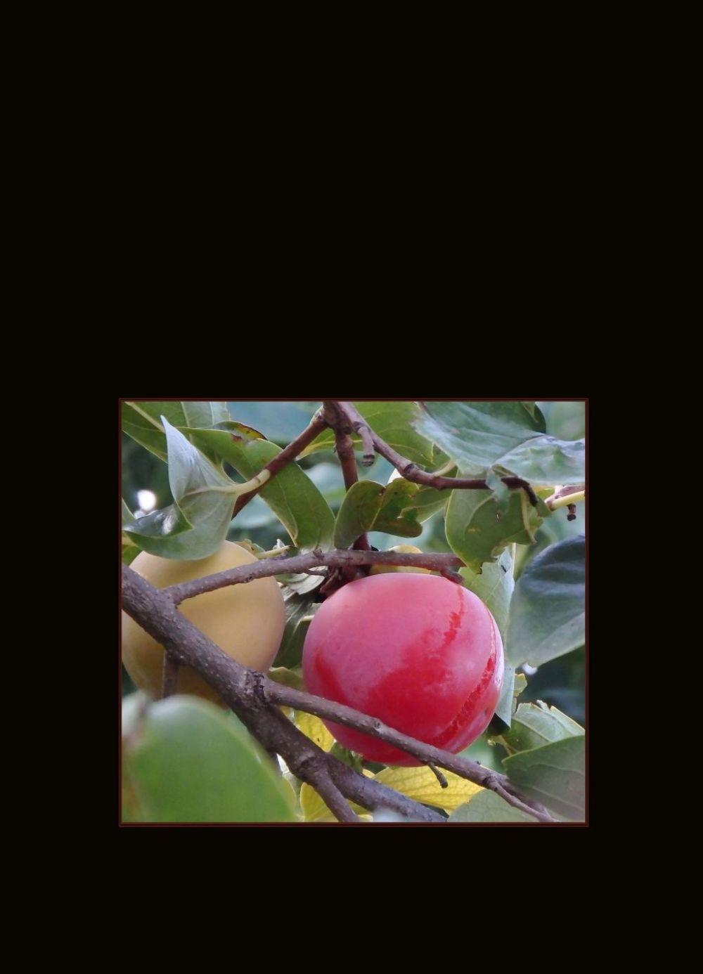 Ripe Persimmon Fruit