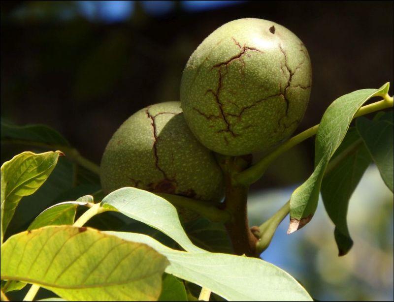 Walnut Fruit Tree