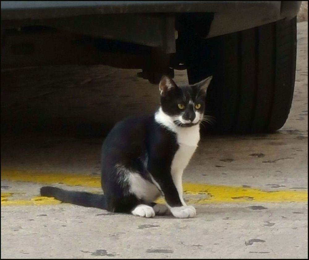 Bicolor Cat in The Street