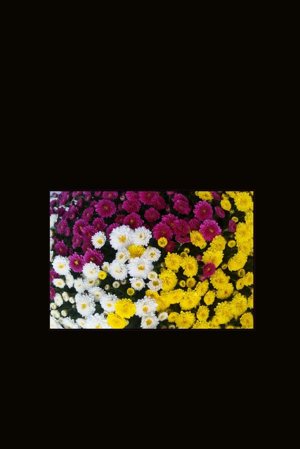 Potted Chrysanthemums - in 3 color