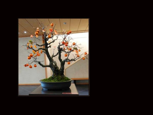Mountain Persimmon - Bonsai