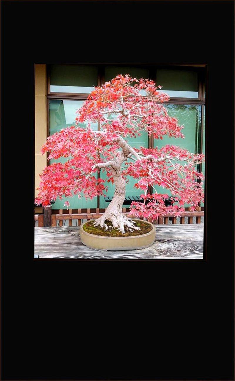 The Japanese Maple Bonsai Tree - Autumn Foliage