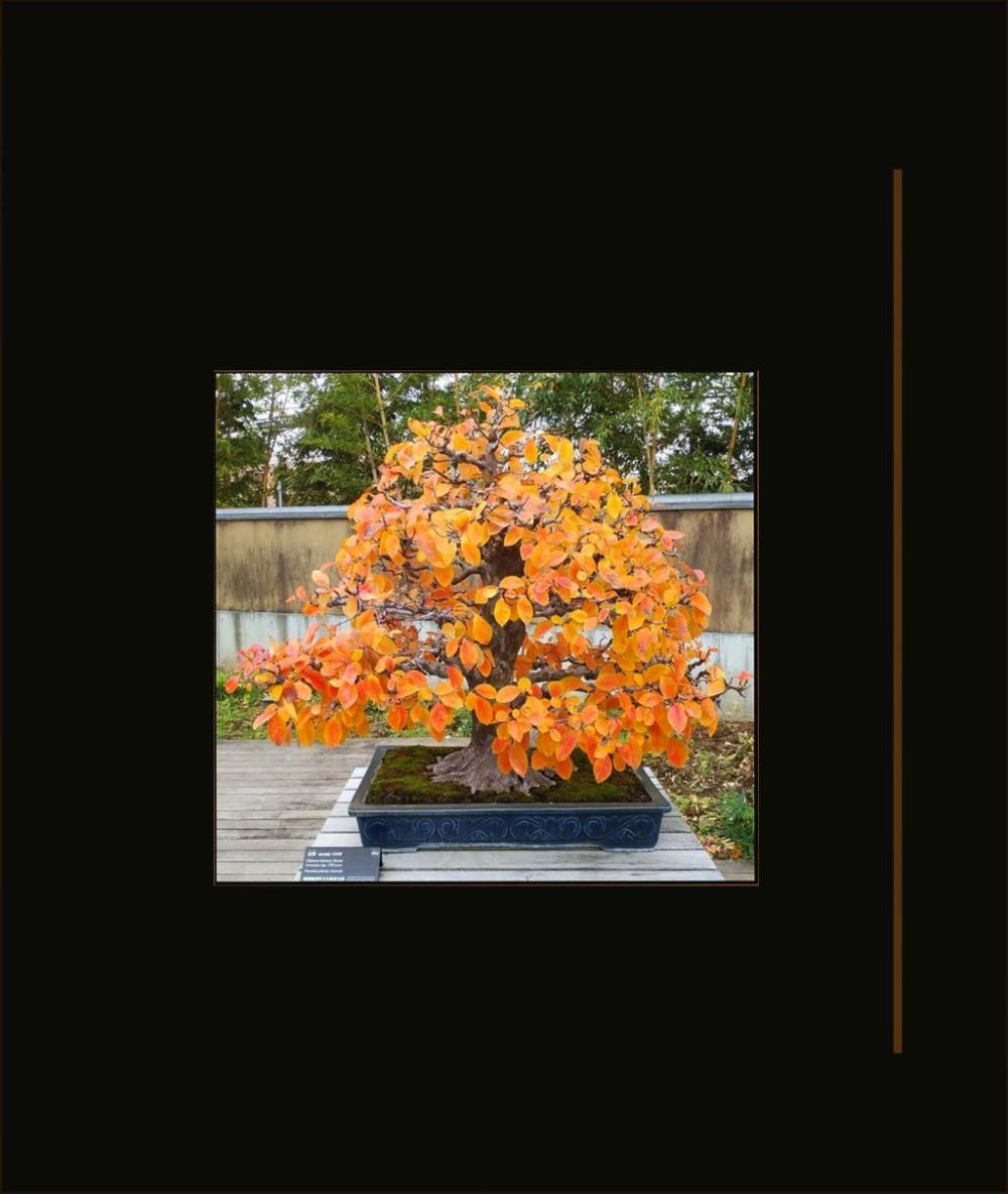 Bonsai -  Chinese Quince