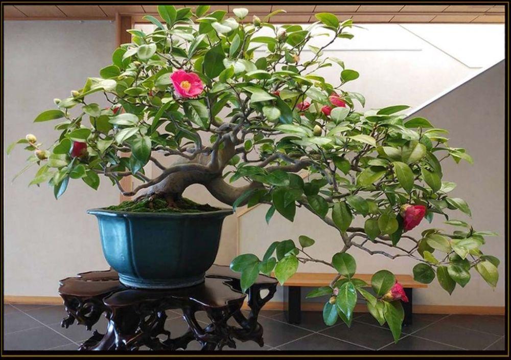 Bonsai - Camellia