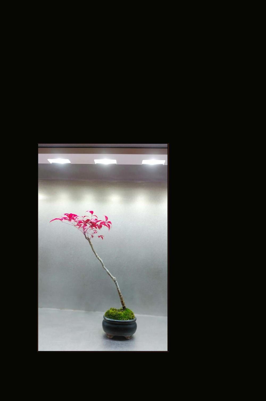 Otafuku Nanten -  Bonsai