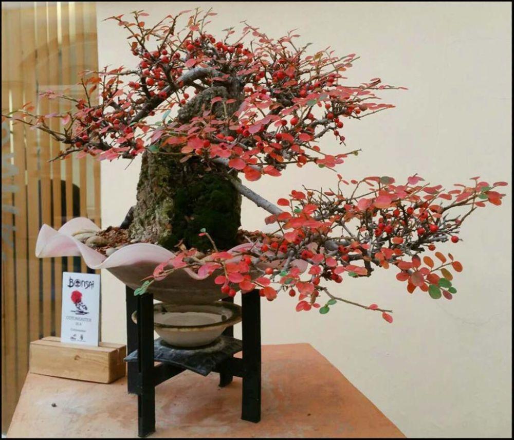 Bonsai - Cotoneaster