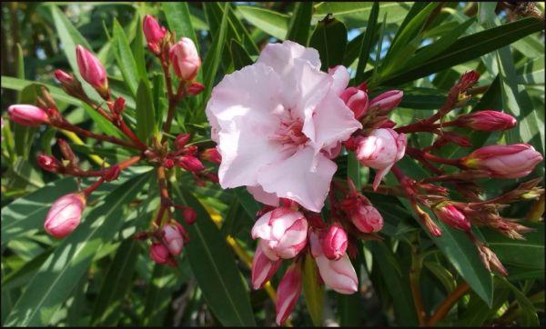 Azaria Flower
