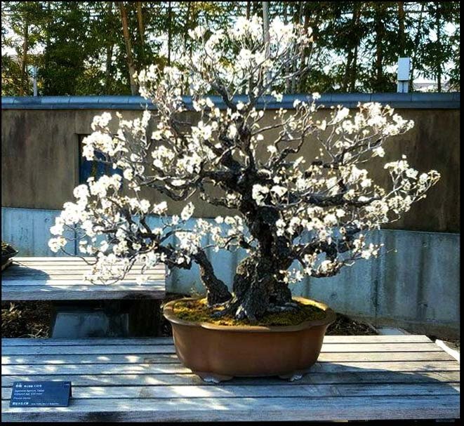 Bonsai - Plum Flower in Full Bloom