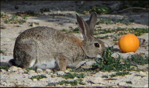 Rabbit in The Orange Fields
