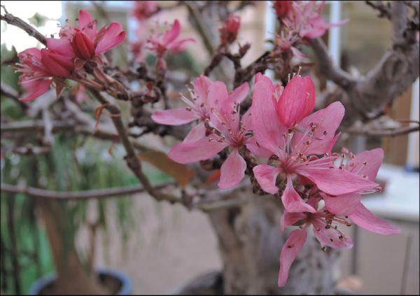 Flowering Bonsai Tree - Himeringo