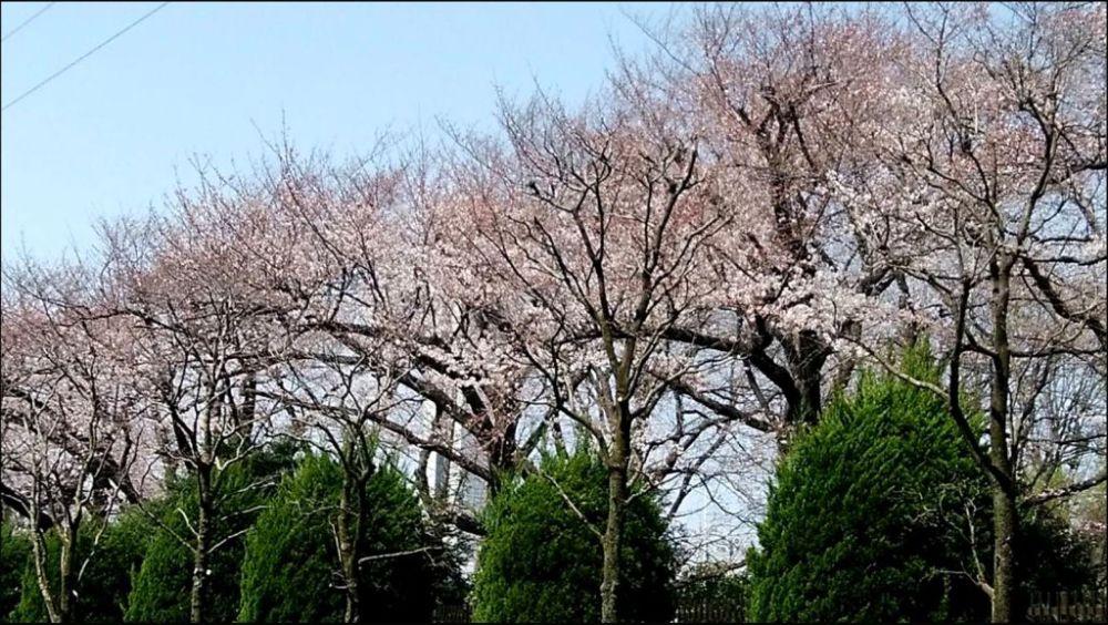Fuchuu City Toshiba Line of Trees