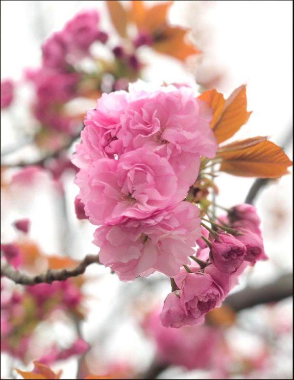 Prunus Serrulata 'Kanzan' - Yaezakura