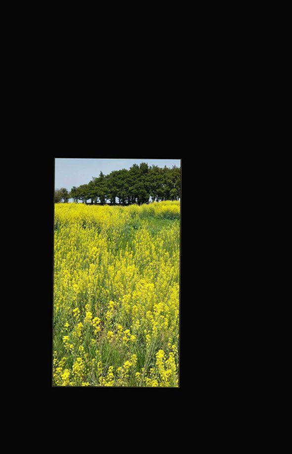 The Rapeseed Fields-( Nanohana, Rapeseed Blossom)