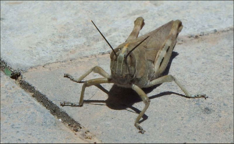 Locust on The Pavement