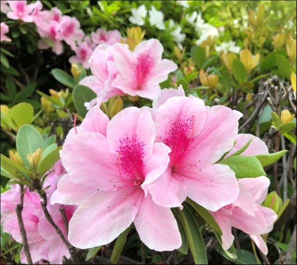 Azaleas in Full Bloom