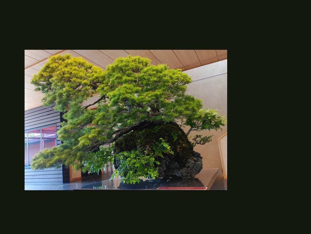 Bonsai - Japanese White Pine (Goyomatsu)