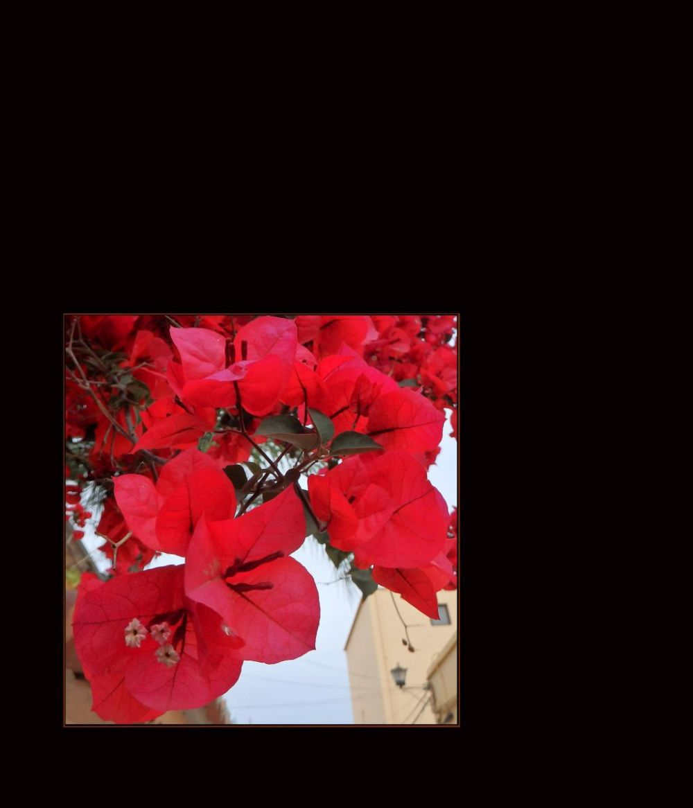 Red Bougainvilleas in Full Bloom