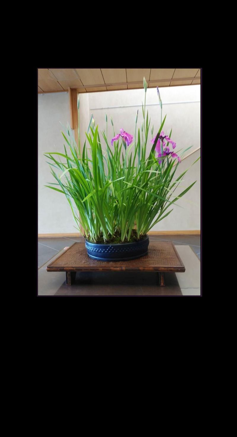 Iris Ensata - Bonsai