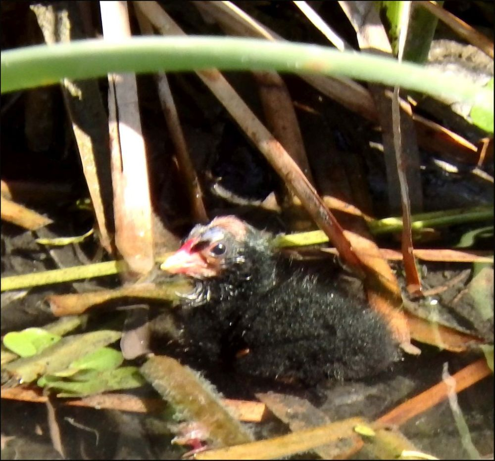 Common Moorhen's Chick
