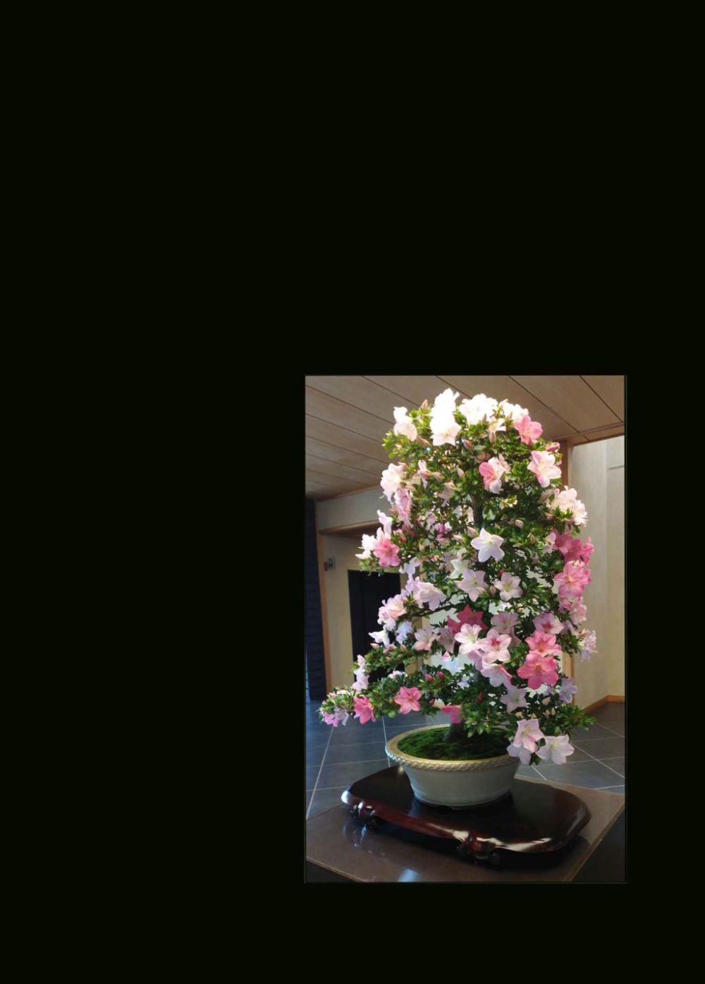 Bonsai - Azalea (Rhododendron) in Full Bloom