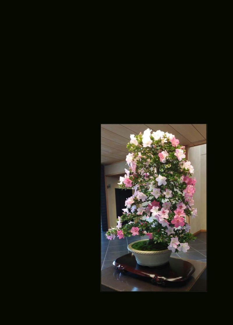 Bonsai - Azalea (Rhododendron) in Full Bloom