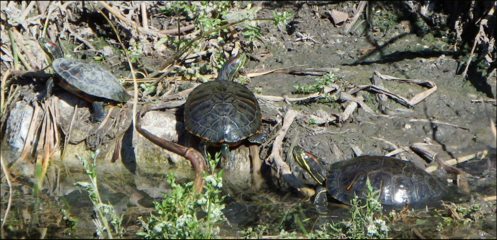 Sunbathing Red-eared Sliders in The Stream