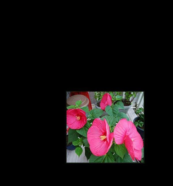 Hibiscus Mutabilis - Pink