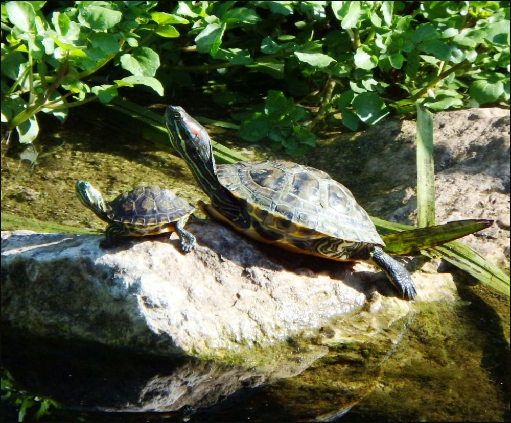 Sunbathing Red-eared Sliders on a Stone