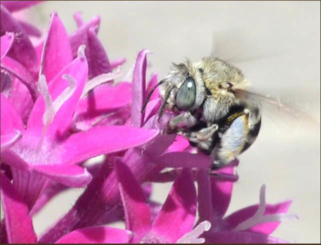 Summer Penta & Bumblebee