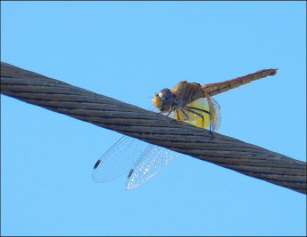 Golden Sympetrum on a Electric Wire