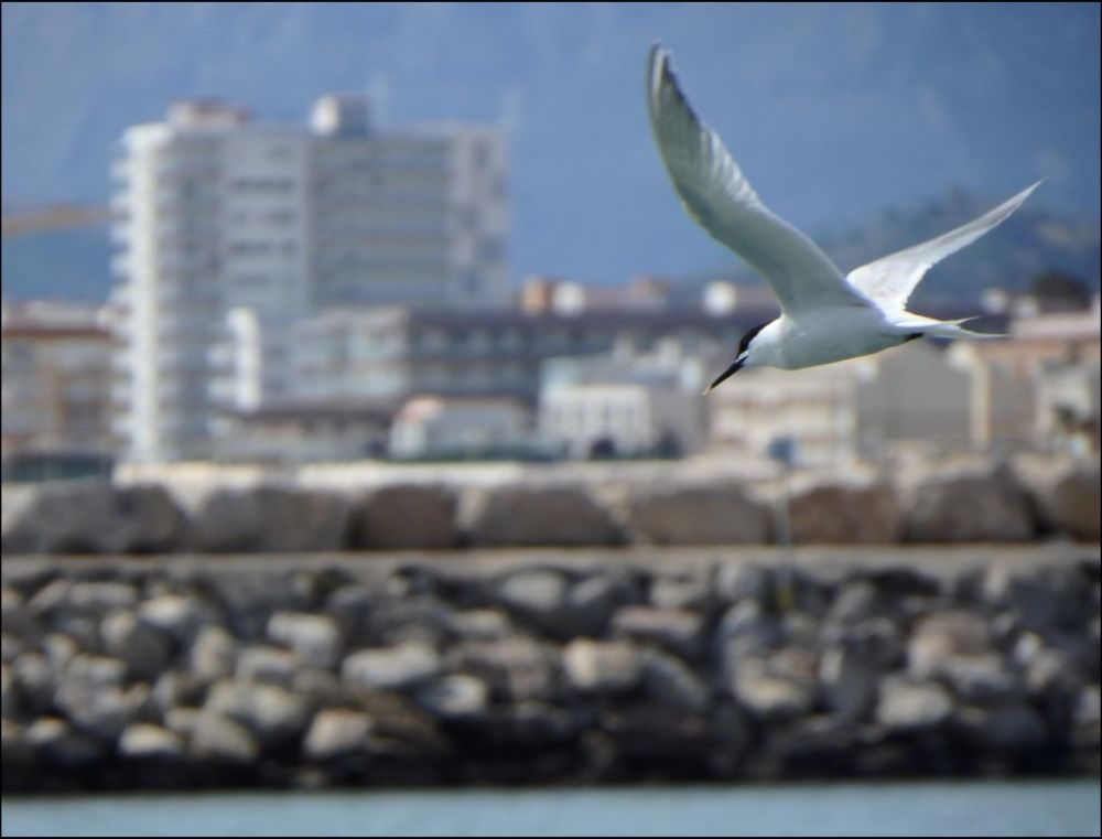 Seagull at Ganda Harbor