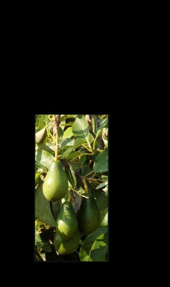 Avocado Cluster
