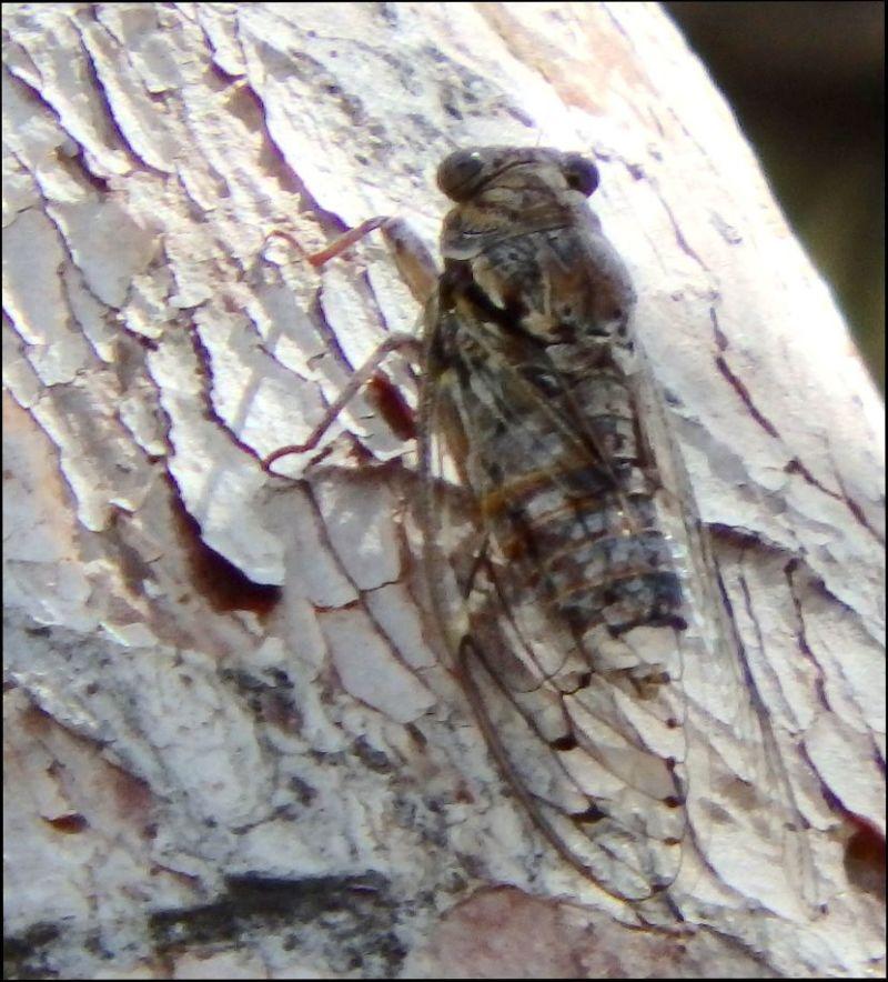 Summer cicada on The Rroadside Trees