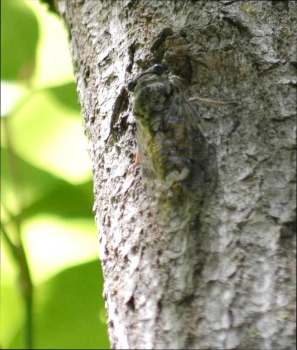 Cicada - Camouflage