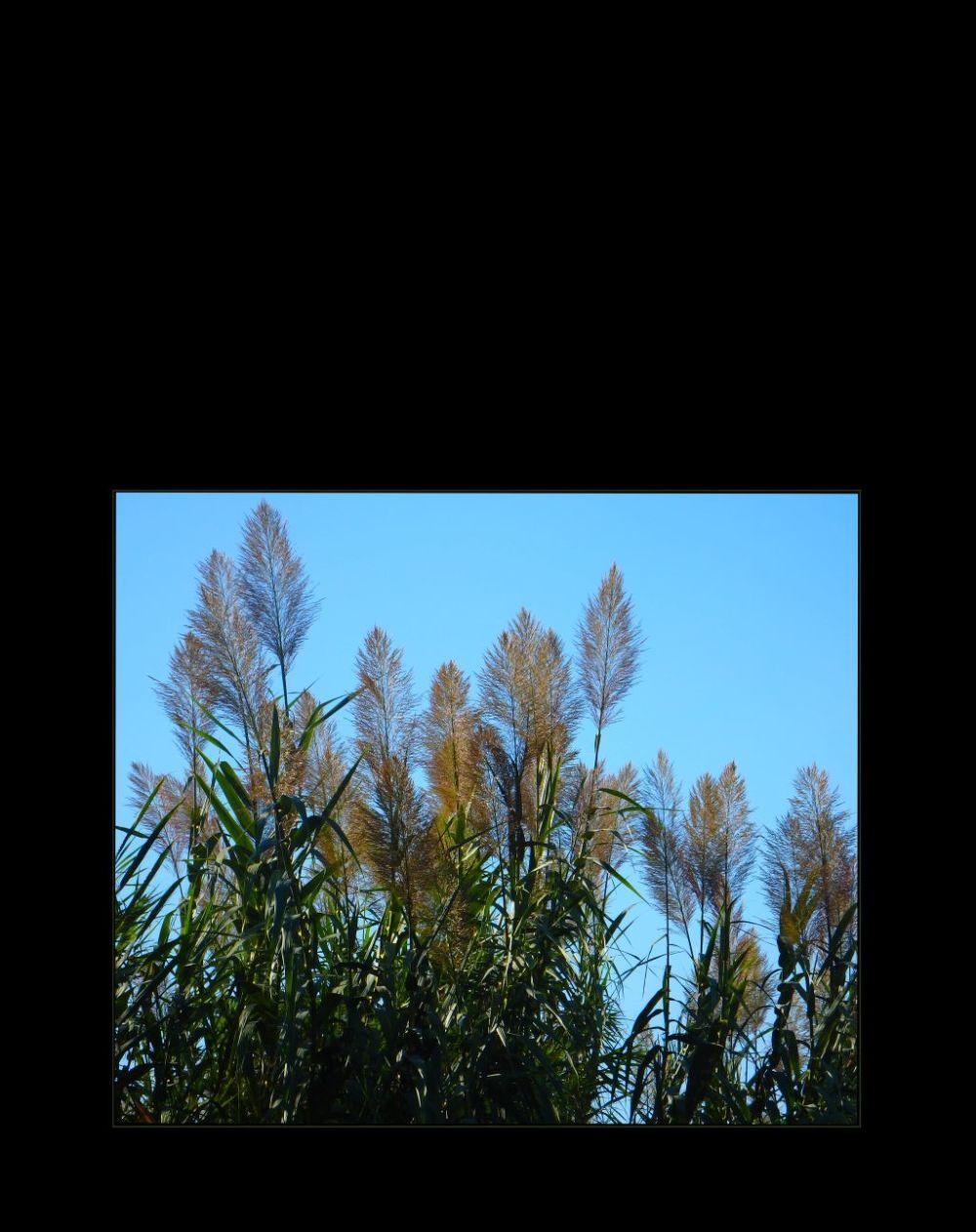 Susuki - Japanese Pampas Grass.